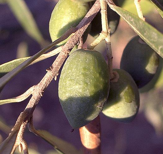 WPD-Olive